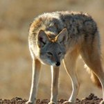 Survivalist coyote manages to persist