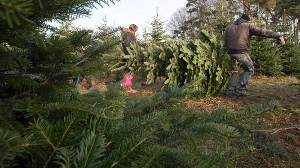 Christmas tree permits could be more expensive this year