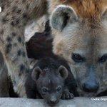 Aparece en Gabón una hiena manchada, especie que se creía localmente desaparecida