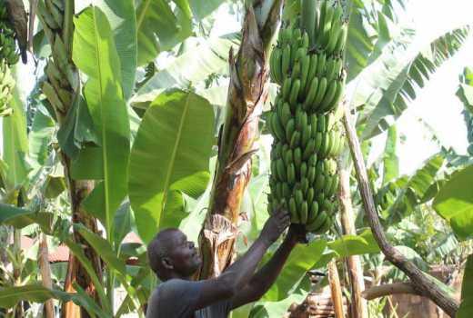 Bored with miraa, smart farmers in Meru go bananas