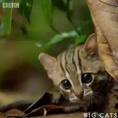 Say hello to the world's smallest (and cutest?!) cat! ��  #BigCats is this Thursday 8pm on @BBCOne https://t.co/FGB6qRgYxV