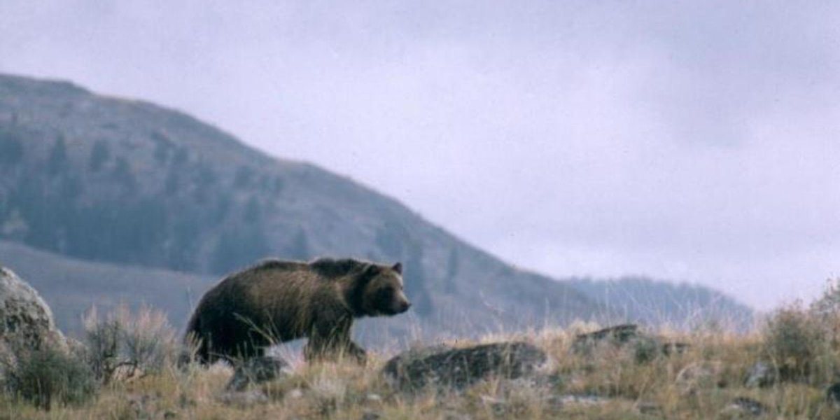Tribe urges restoration of protections for Yellowstone grizzlies