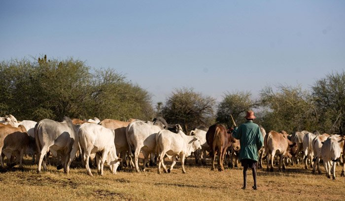 Laikipia County to fix identification devices on livestock
