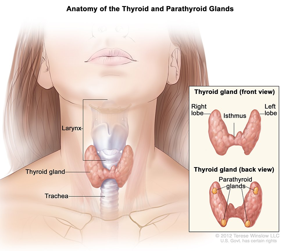 Anatomy of the throat and neck pictures