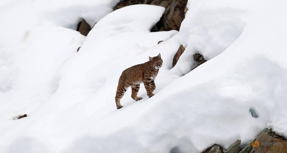 Canada lynx no longer threatened by extinction: US wildlife agency