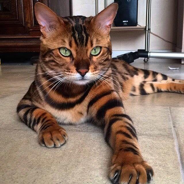 This cat with a beautiful fur: https://t.co/QTGFJoqiiB