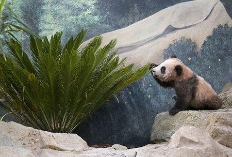 Así presentaron en sociedad a Yuang Weng, el primer panda bebé de #Francia ���� https://t.co/j2stoYrpmO https://t.co/WkQFVGz4o3