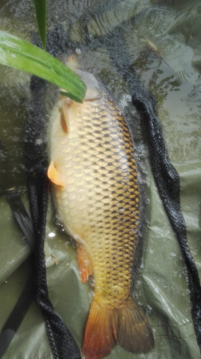 Loved catching this double figure#CommonCarp putting her back after a hard fight #CarpFishing https: