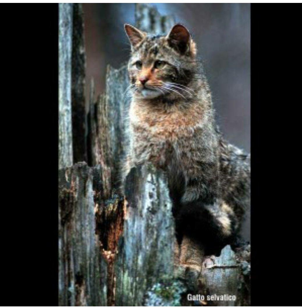 test Twitter Media - Solitario, elusivo, territoriale e notturno, il #gatto selvatico è un importante regolatore ecologico e, anche se poco conosciuto, il suo fascino lo rende una specie dal considerevole impatto mediatico. Qui, un articolo a lui dedicato: https://t.co/SPSdSKrFQh https://t.co/zjIStODezR