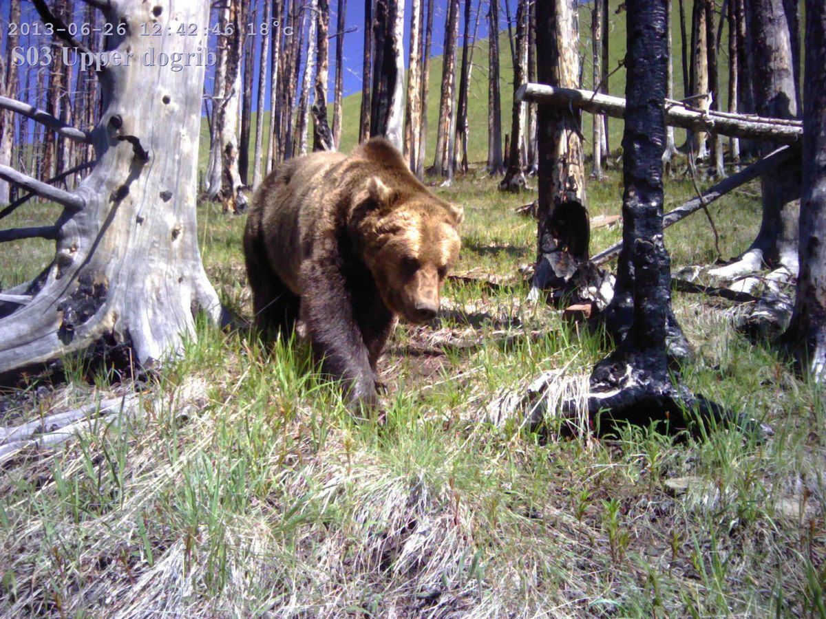 Canadian study shows fewer roads mean more grizzlies