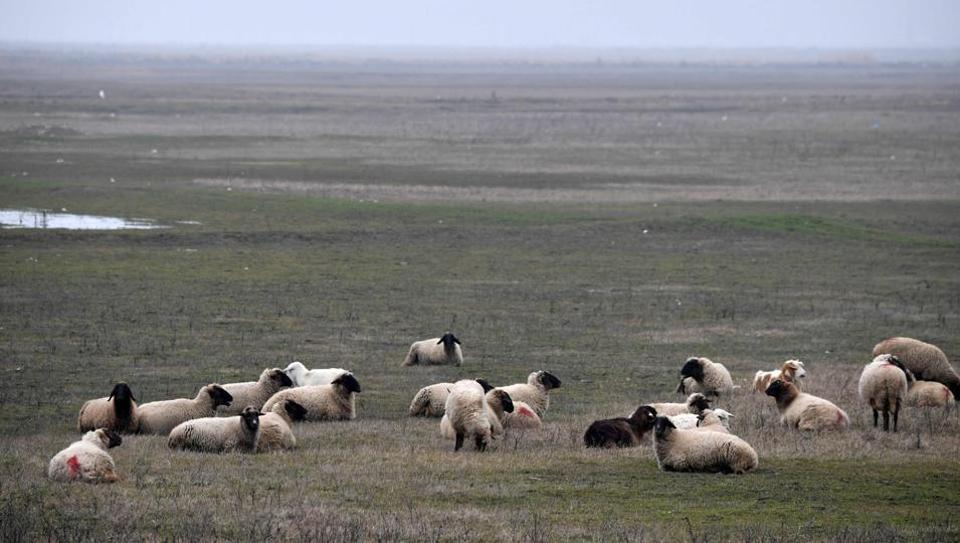 Grazing dangerously: The Romanian sheep nibbling away at US security