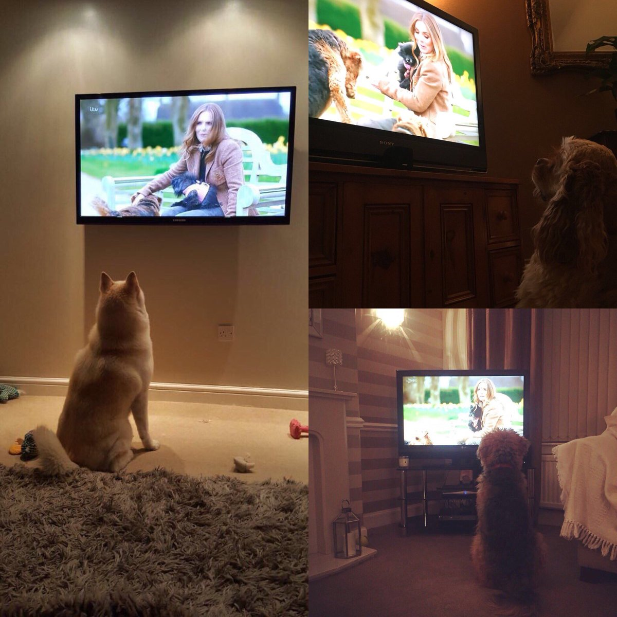 They're all watching  ❤️???? @itv #britainsfavouritedogs @thekennelclubuk https://t.co/97ZLVQ51gX