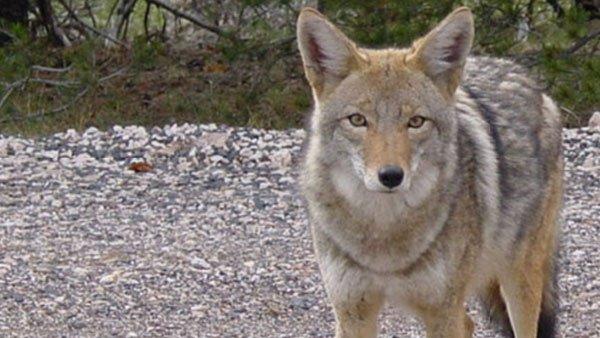 Video: Pack of coyotes roams Warren County suburb