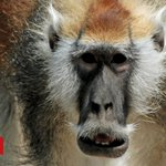 Moustached monkey is separate species