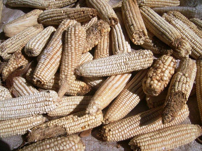 Aflatoxin may hit Kitui and Meru next month
