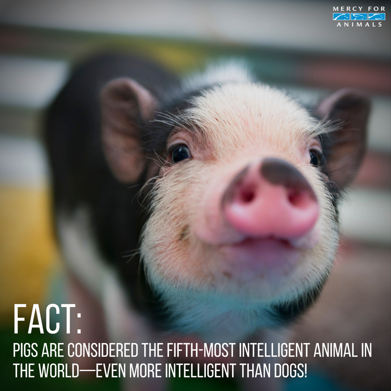 RT @MercyForAnimals: #FACT: Pigs are the 5th most intelligent animal in the world. https://t.co/oHdibykOTI