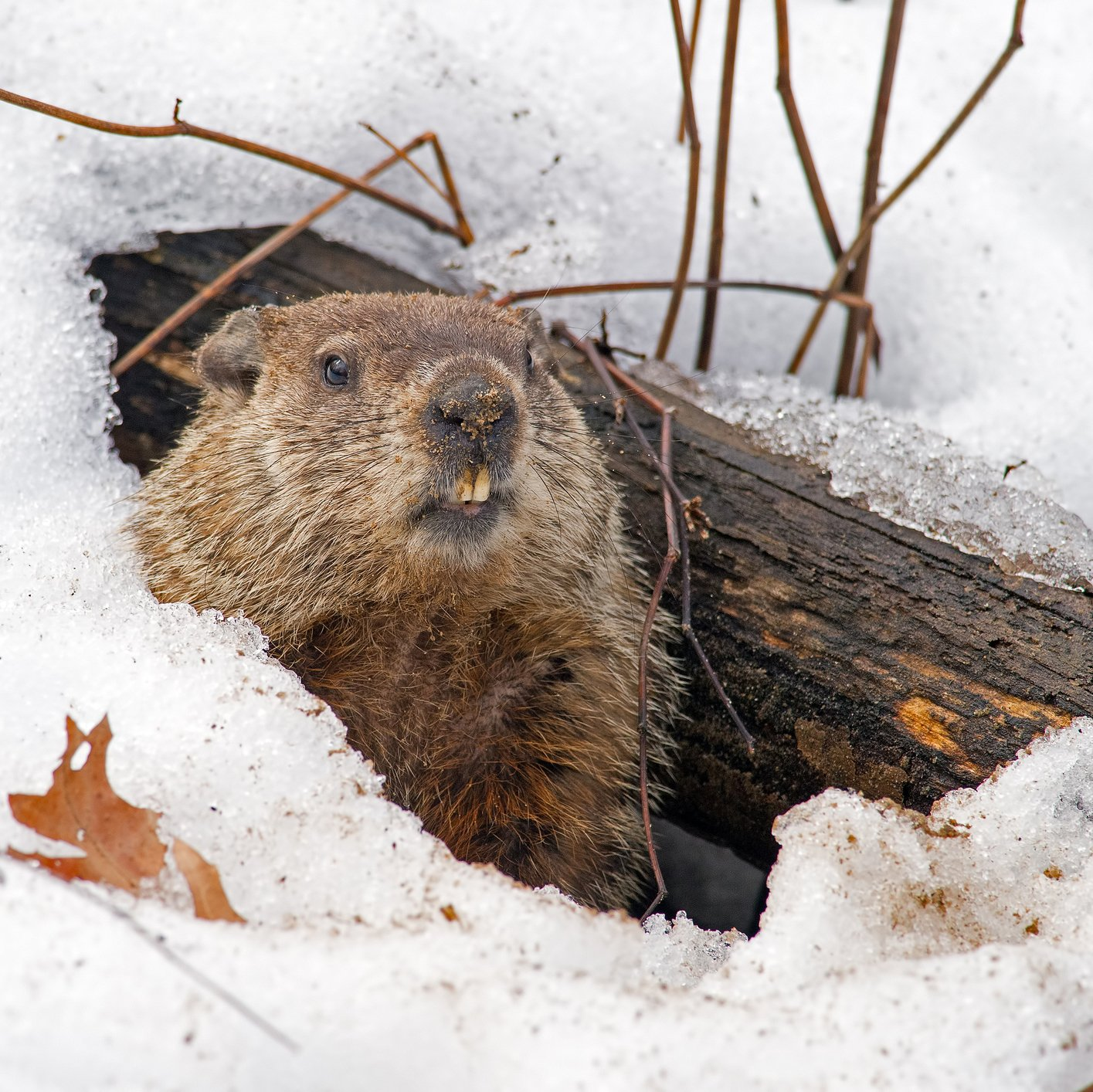 Tomorrow is Groundhog Day — what prediction are you hoping for? https://t.co/Iaaf4zpBui