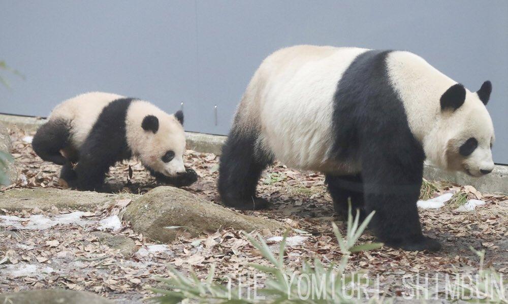 上野動物園の子パンダ、シャンシャンの先着順一般公開が2月1日から始まりました。お母さんパンダの後について歩く姿が愛くるしいです(飯島啓太撮影) #シャンシャン #パンダ #上野動物園 https://t.co/FPtH3DOVAx