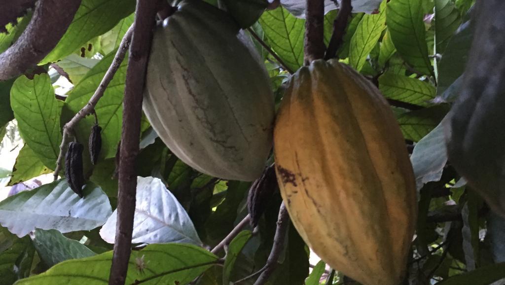réflexion pour relancer la filière cacao sur l'île