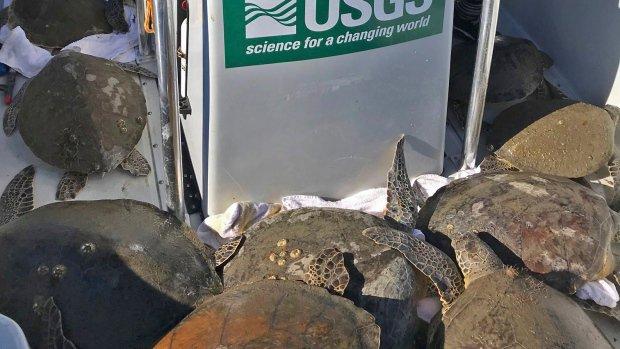 More than 1,000 cold-stunned sea turtles wash into Florida bay
