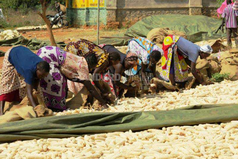 Low prices and pests push maize farmers into other ventures