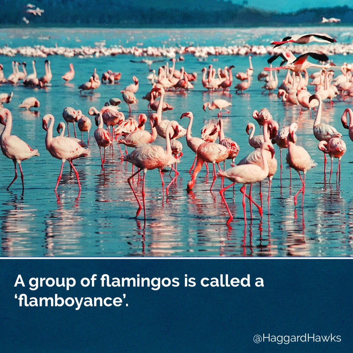 RT @HaggardHawks: A group of flamingos is called a FLAMBOYANCE.   📸 https://t.co/7YbPENDgke https://t.co/hoX32TRJ3W
