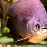 Fish With Human-Like Teeth Found In Arizona Lake