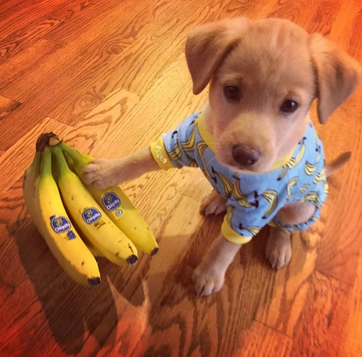 RT @dog_rates: Meet Piper. She really likes bananas. Fairly adamant about that. 13/10 impeccable puptassium levels https://t.co/fezTcYQEf4