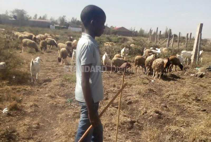 Boy who attained 400 marks in KCPE herding livestock to raise fees