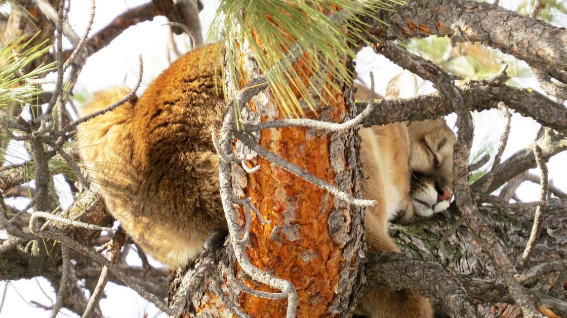 Bitterroot cougar study offers surprising findings