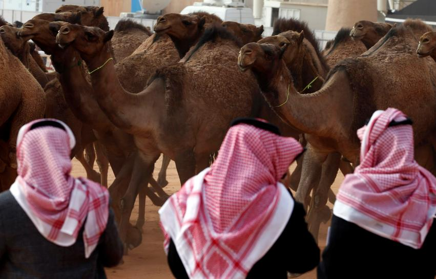 Prize camels keep tradition alive in changing Saudi, but please no Botox! https://t.co/rlueyeQtuS https://t.co/yq4psnxvN9