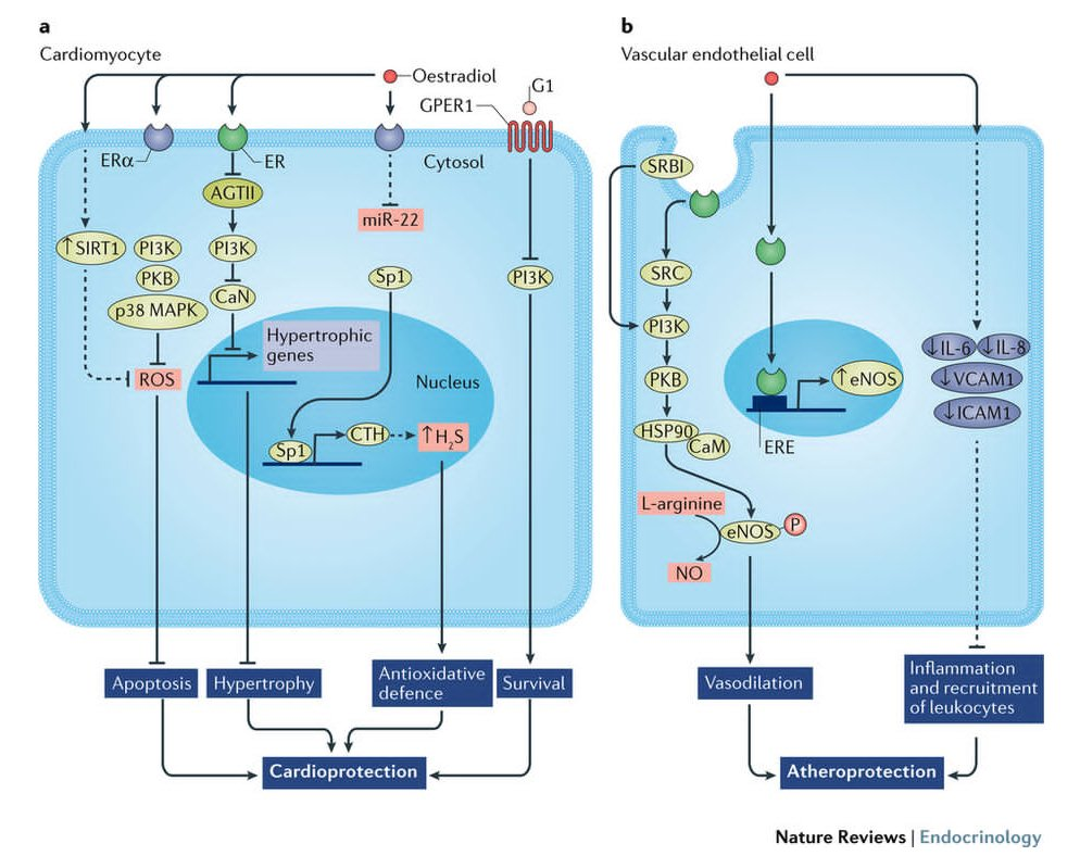 test Twitter Media - Deborah Clegg et al review the effects of #oestrogens and their receptors on #cardiometabolic health (£) https://t.co/ntJHcWmeKf #estrogen #oestrogen #CVD #obesity #diabetes https://t.co/YXYc3wVljJ