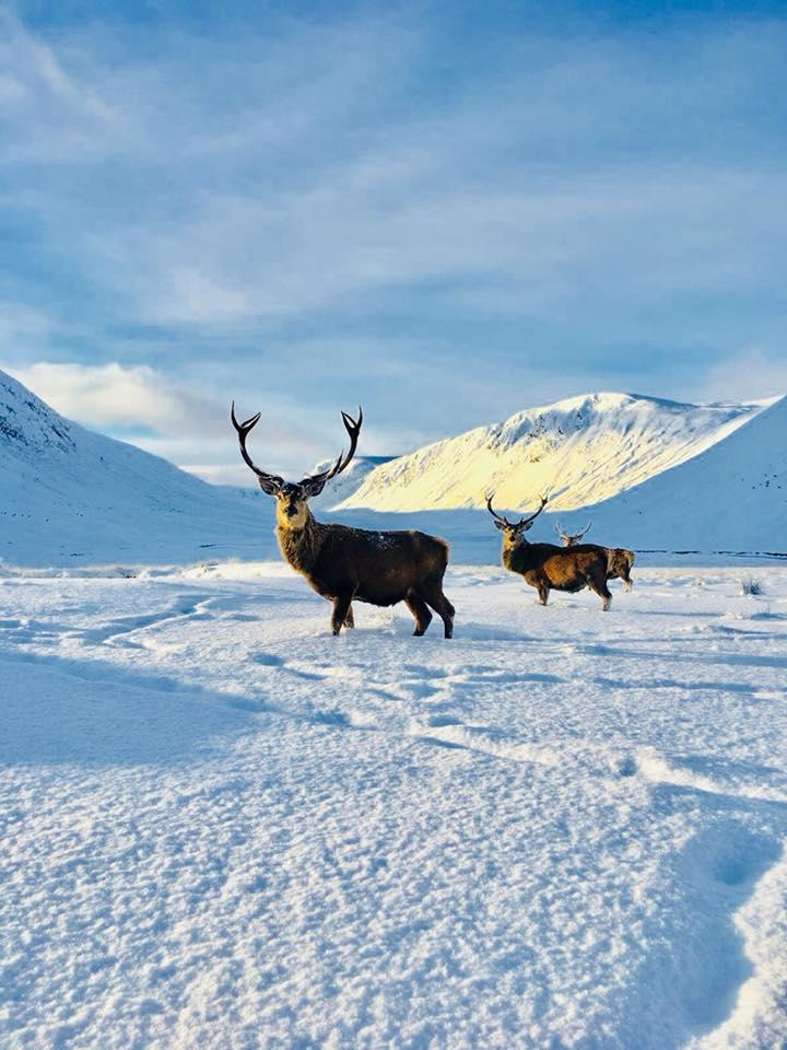 Stags in the snow �� �� FB/Pieter-Paul Groenhuijsen #AlladaleWildernessReserve #Highlands https://t.co/c9xrfCMyhI