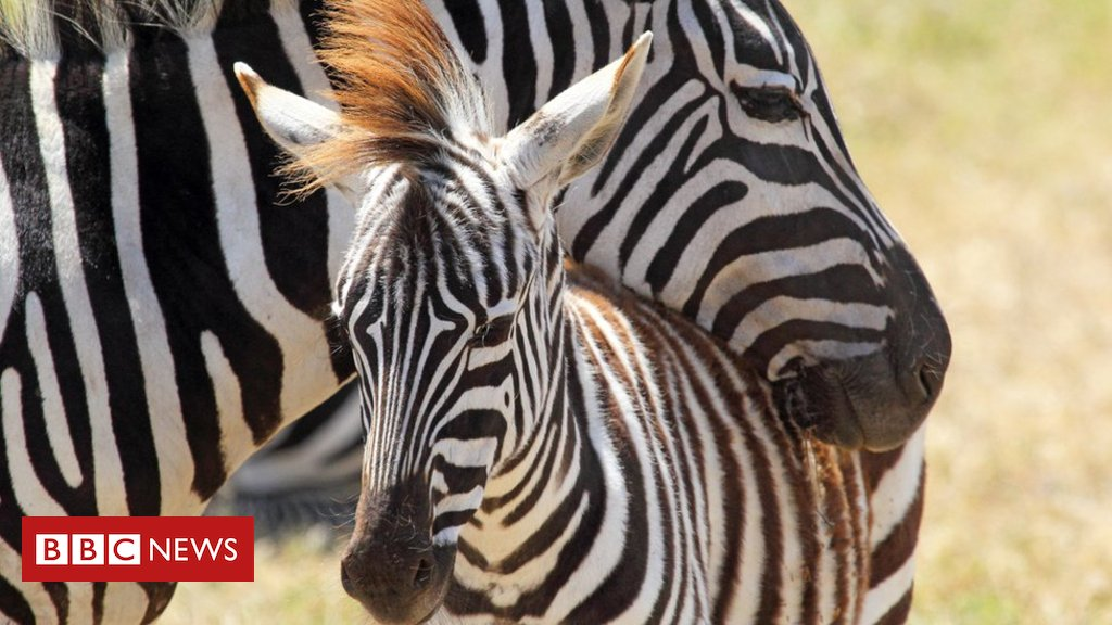 Why you can't judge a zebra by its stripes