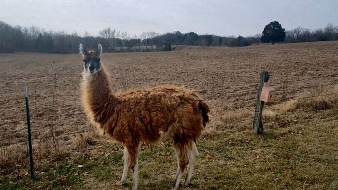 Loose llama loses liberty after months on the lam in Franklin County