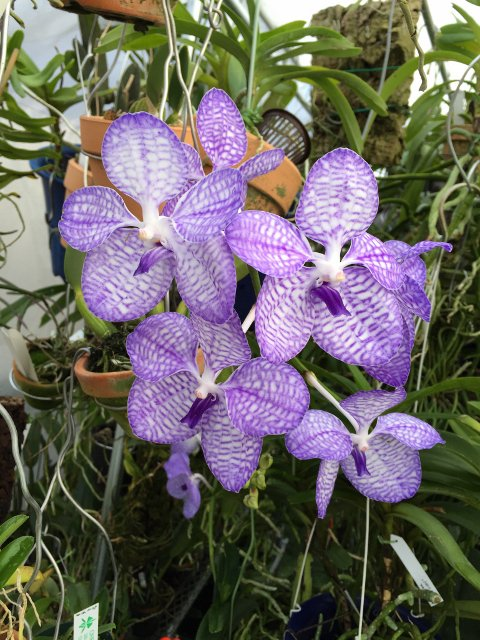 RT @chikaoka1: V.coerulea 'Bleu ciel' is blooming in my orchid GH. https://t.co/g764aUZKaO