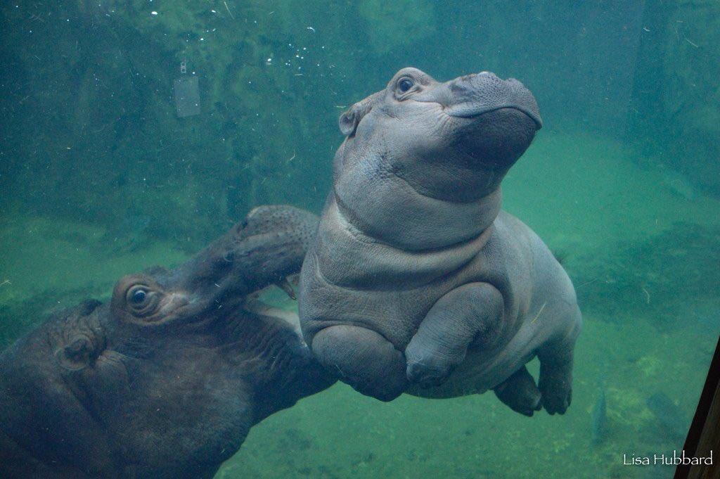 It's my favorite hippo's birthday! HBD Fiona! ������ #TeamFiona @CincinnatiZoo https://t.co/scsNqMtS9N