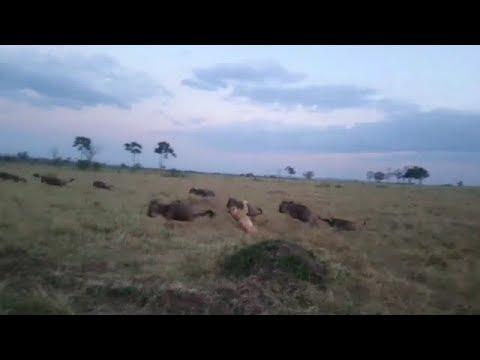 Wildebeest literally runs straight into a lion