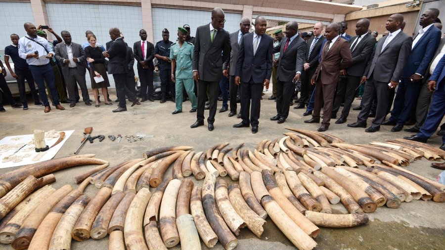 Ivory Coast seizes huge haul of elephant tusks and pangolin scales
