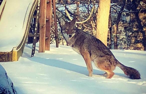Learning from the pesky, adaptive, remarkable coyotes