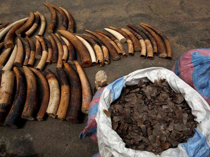 Ivory Coast seizes $800 million haul of elephant tusks, pangolin scales