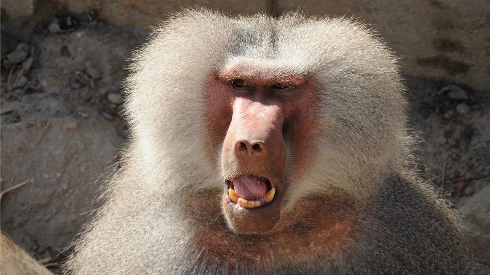 Monkey business: Baboons shut down Paris zoo after escaping their enclosure