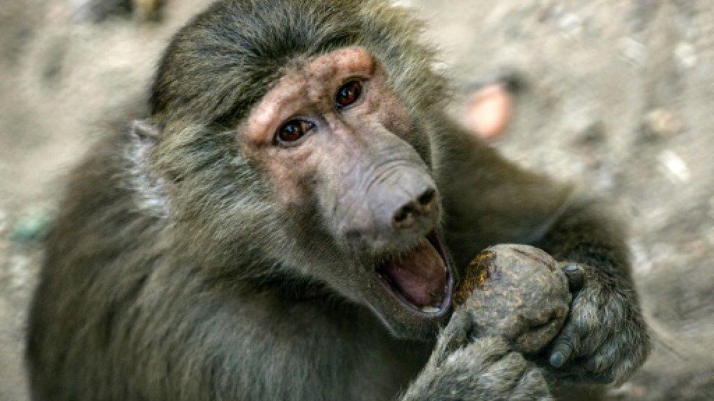 Mass baboon breakout shuts Paris zoo