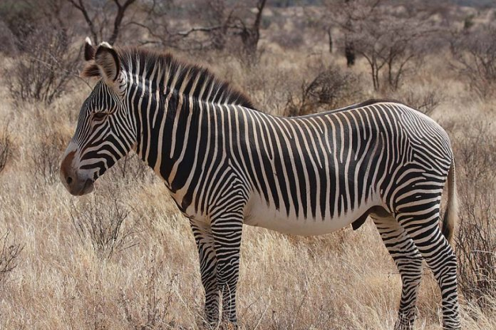 Conservationists to conduct census on Grevy Zebras