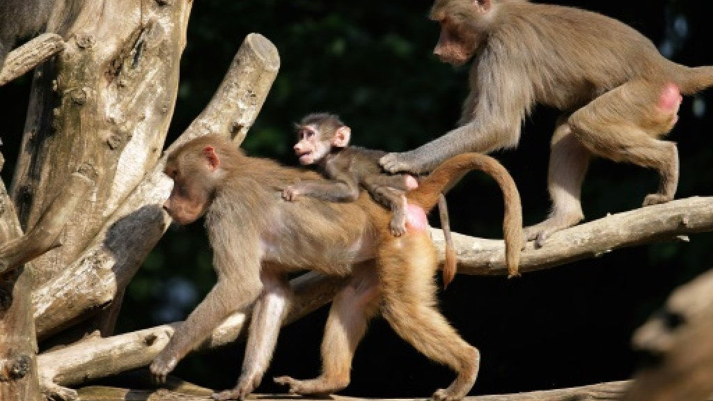 Paris zoo to reopen after last truant baboons found