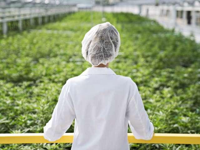 Marijuana producers say Ontario minimum wage hike driving up costs