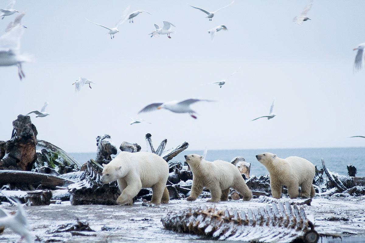 Polar bear numbers are doing odd things. Is the species marching to safety or disaster? https://t.co/WTia61fTd3 https://t.co/RzKPR0s7pH