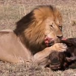 Deadly big cats of the Mara
