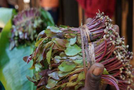 Miraa kills Lamu youths dream of joining military forces