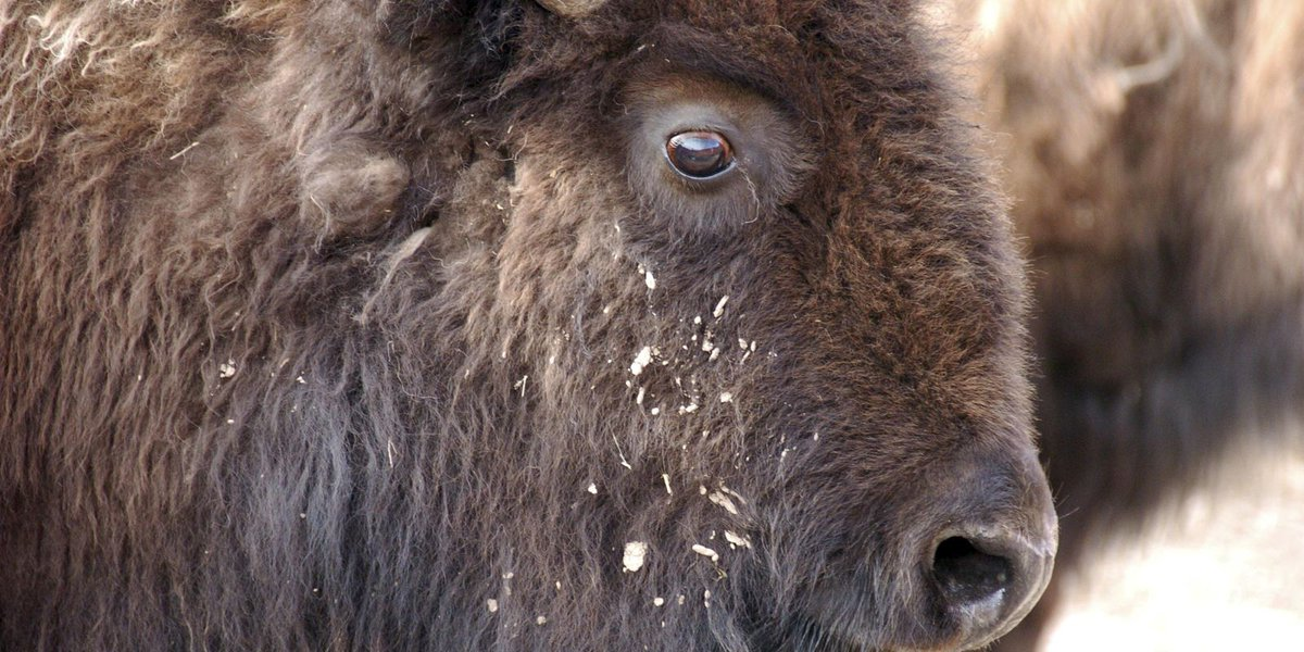 Judge: U.S. must reconsider Yellowstone bison protections